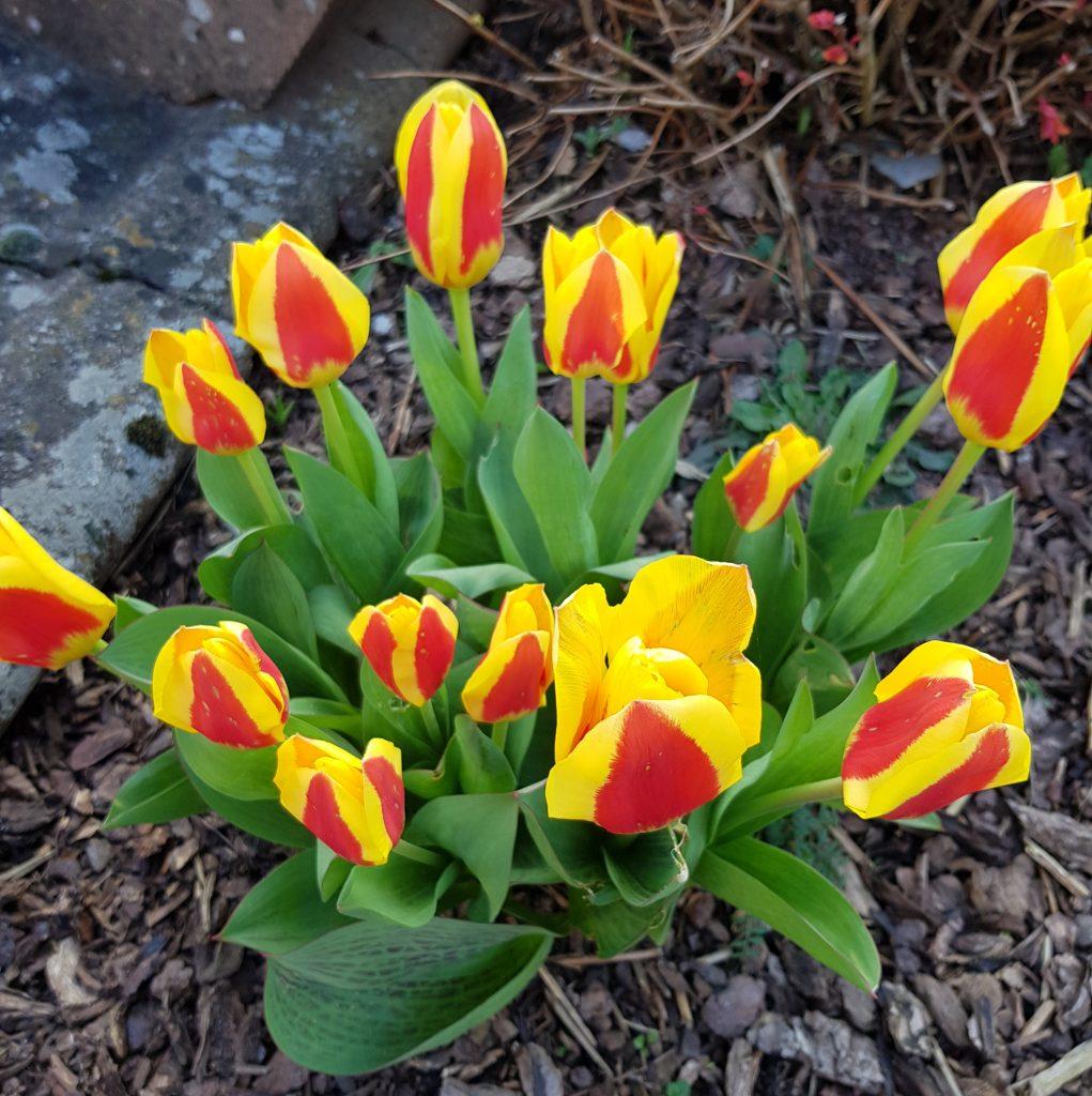 Tulpen in Frühlingsfarben